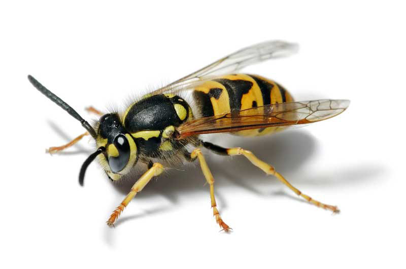 Deutsche Wespe (Vespula germanica)